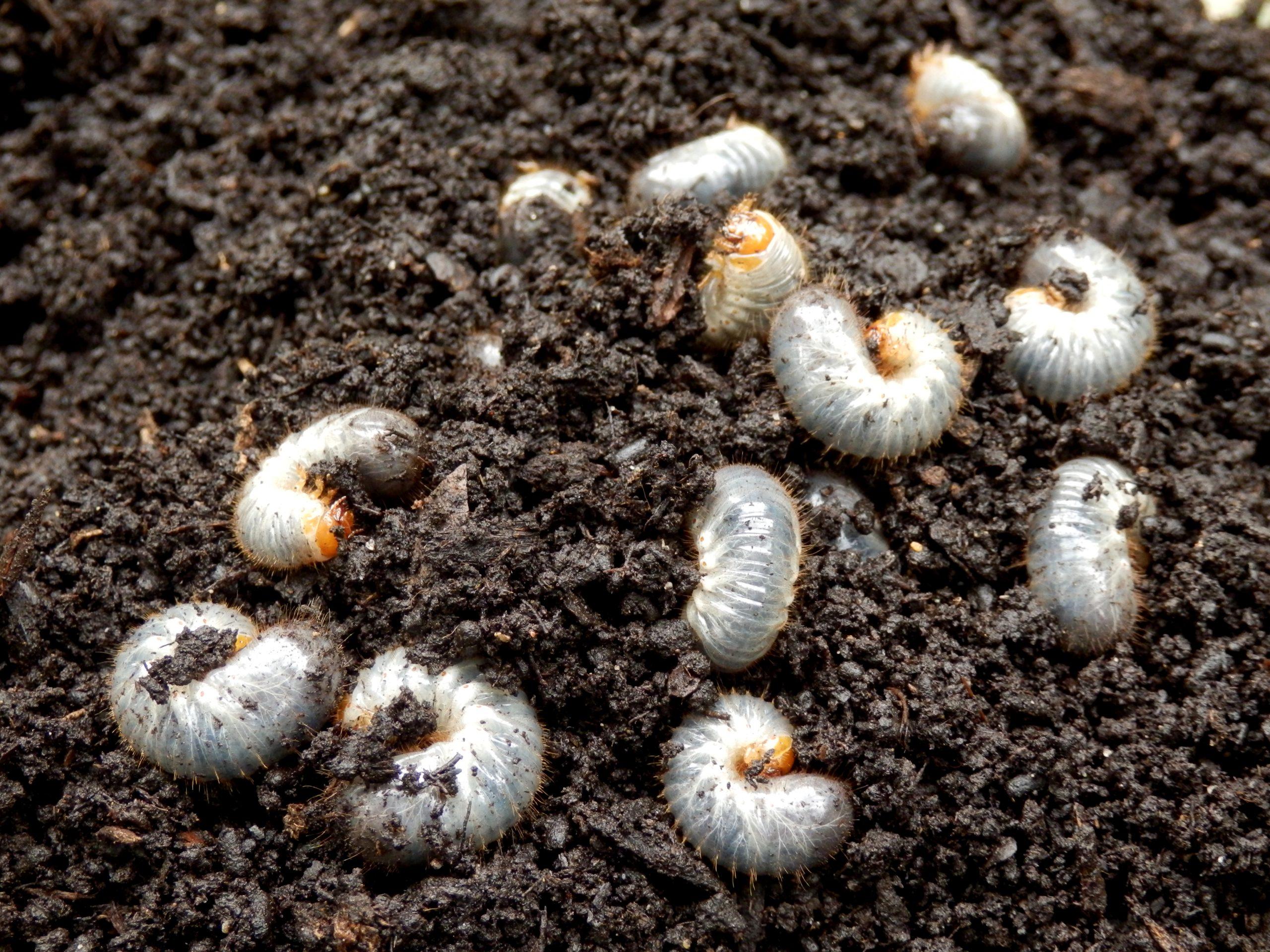 chafer grubs in soil